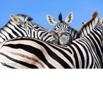 "Three Zebras Poster–12""x18"""