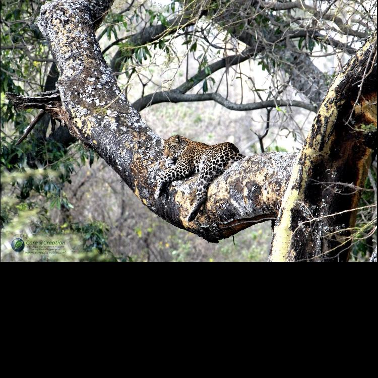 """Sleepy Leopard Poster–12""""x18"""""""