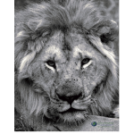 """African Lion Poster–18""""x24"""""""