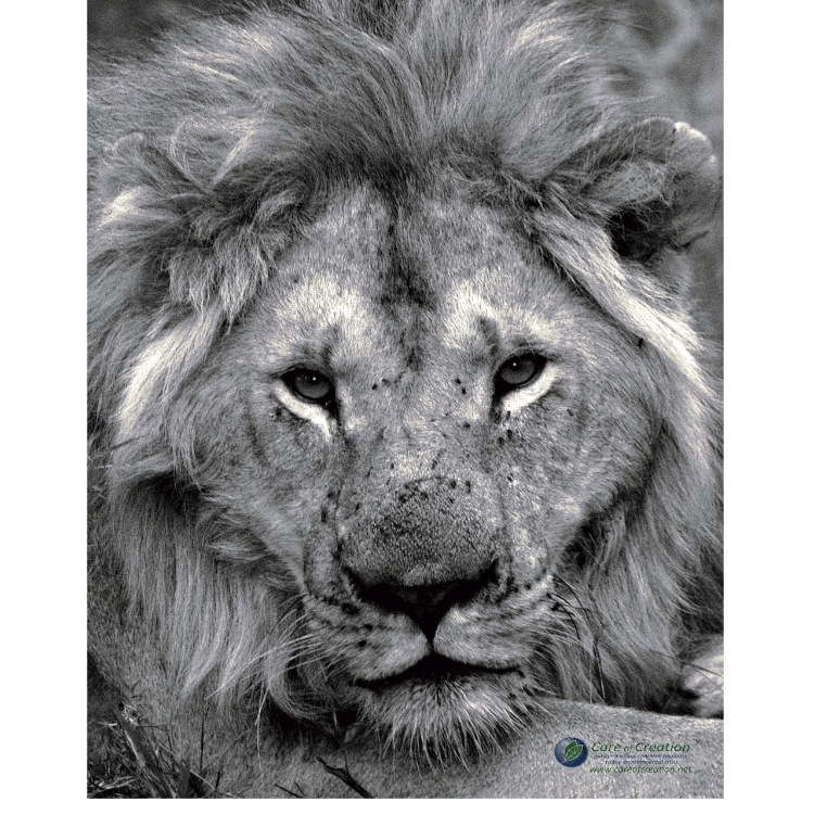 "African Lion Poster–18""x24"""